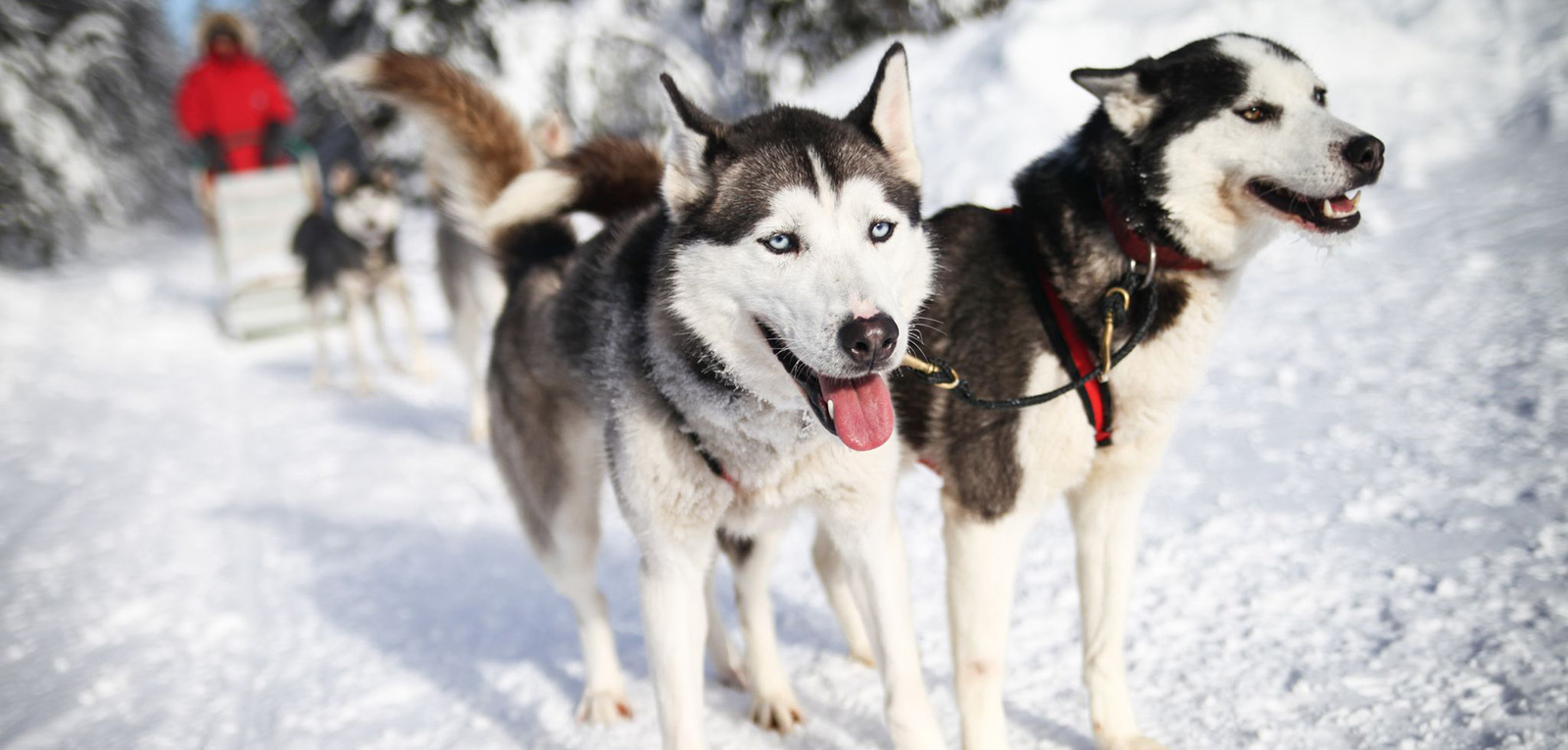 Dog sledding dogs