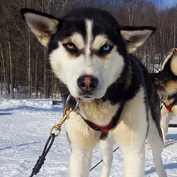 Outdoor activities - Dog sled - Ottawa - Outaouais